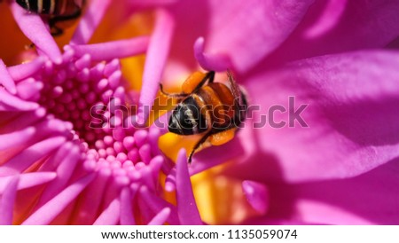 Macro photo of beautiful waterlily and bee, soft focus. Royalty high quality free stock image of bees and purple waterlily flower in sunshine. Bees honey on water lily flower