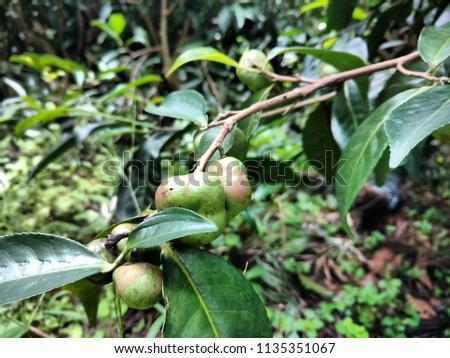 Green coffee in tree #1135351067