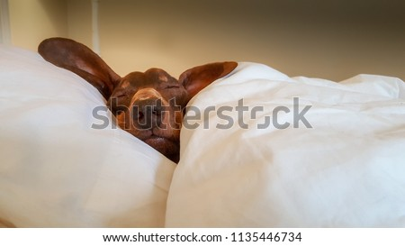 Dachshund snuggled up and asleep in human bed. #1135446734