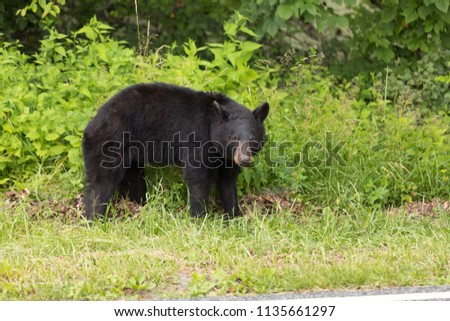 A young Black Bear looks at the camera when spotted walking along the Skyline Drive at the Shenandoah National Park. #1135661297