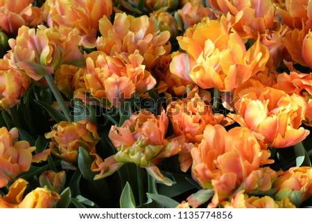Orange Tulip, Lisse, Netherlands #1135774856