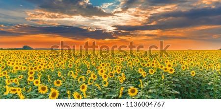 Sunflower field on sunset. Beautiful nature landscape panorama. Farm field idyllic scene. #1136004767