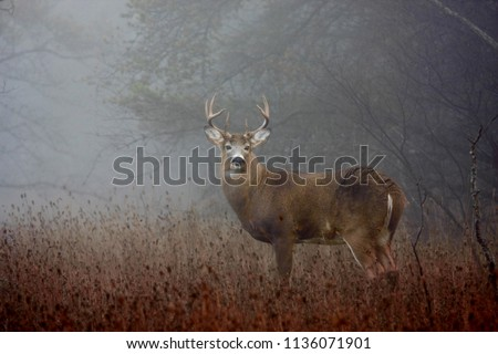 White-tailed deer buck with huge neck  and antlers standing on alert in the foggy woods during the rut in autumn in Ottawa, Canada Royalty-Free Stock Photo #1136071901