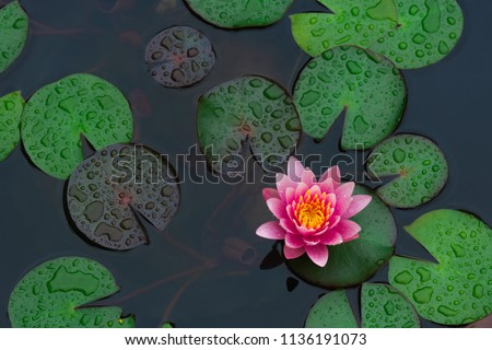 Rain drops water of beautiful pink waterlily or lotus flower in pond for text or decorative artwork. #1136191073