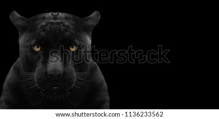 black panther shot close up with black background #1136233562