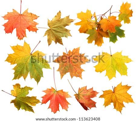 Isolated autumn maple leaves #113623408
