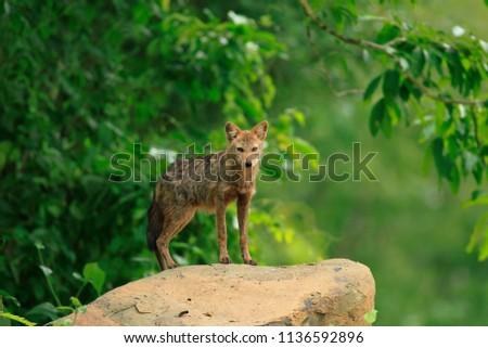 Wolf in the wild #1136592896