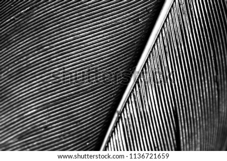 Black and white close up picture of goose feather