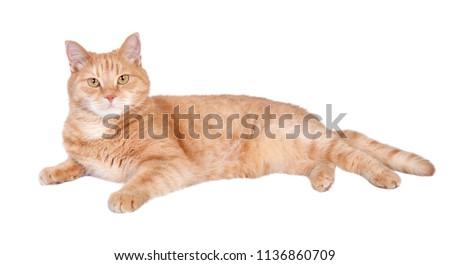 Lying tabby ginger cat isolated on white background.  #1136860709