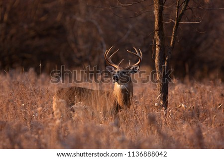 White-tailed deer buck with a huge neck and antlers standing on alert looking for a mate during the rut in the early morning autumn light in Ottawa, Canada