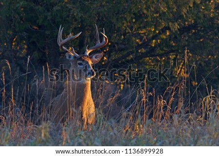 White-tailed deer buck with a huge neck in the early morning light walking through the meadow during the autumn rut in Ottawa, Canada Royalty-Free Stock Photo #1136899928
