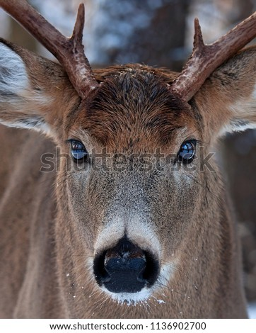 White-tailed deer buck close up in the winter snow in Ottawa, Canada