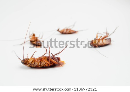 Cockroach isolated on white background.