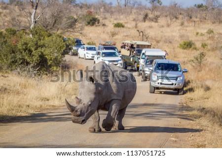 Southern white rhinoceros in Kruger National park, South Africa ; Specie Ceratotherium simum simum family of Rhinocerotidae #1137051725