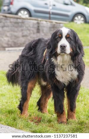 Portrait of Bernese Mountain Dog outdoor in Belgium #1137237581