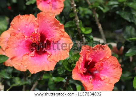 BEAUTIFUL HIBISCUS BLOOMS #1137334892
