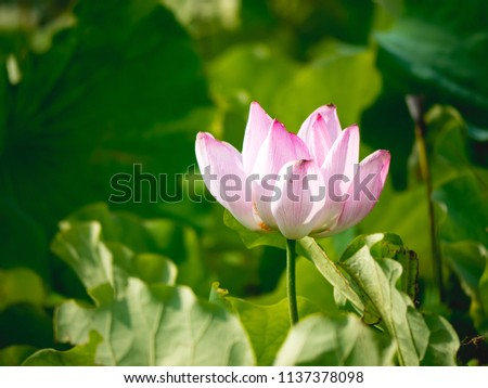 Lotus in summer day #1137378098