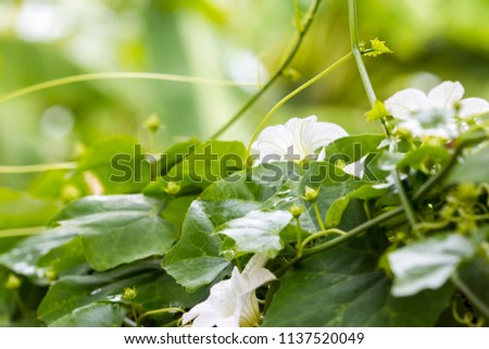 background nature vegetable flower and leaf creeping plant at fence is food of asia coccinia grands #1137520049