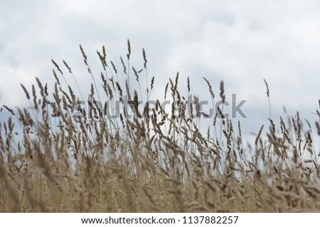 Tall Grass Meadow, blur #1137882257