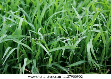 spring season abstract natural background of green rice farm close up with water drop . grass with water drops .  #1137900902