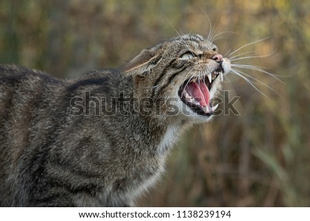 A very close up detailed portrait of a scottish wildcat snarling and showing its teeth facing right Royalty-Free Stock Photo #1138239194