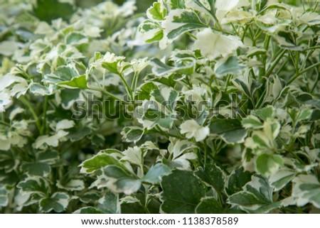 Green leaf Ming Aralia tree in the garden. #1138378589