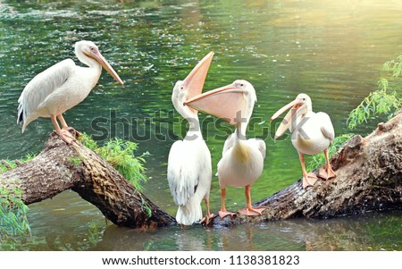 Great white pelicans sit on a tree. One pelican tells something, two pelicans are beautifully arched neck, and the fourth pelican silently watches what is happening. Funny birds. Royalty-Free Stock Photo #1138381823