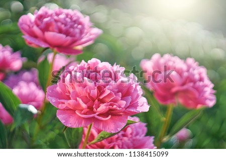 Pink flowers peonies flowering on  background pink peonies. Peonies garden.