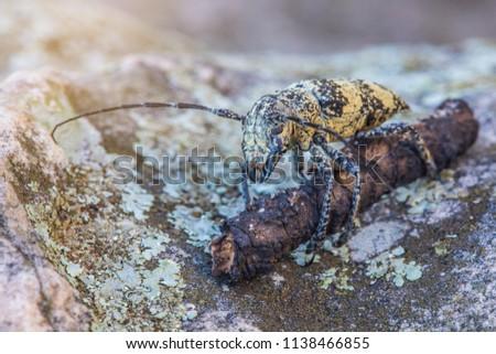 Stem-boring grub, Gahan, Coleoptera, Cerambycidae, on the timber and rock. #1138466855