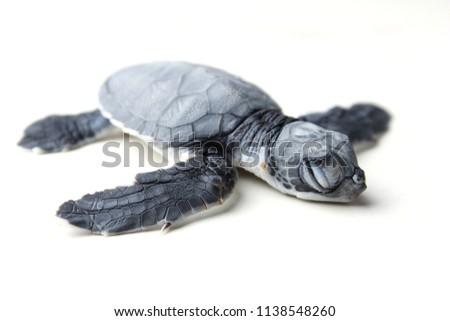Sea turtle isolated on white background. #1138548260