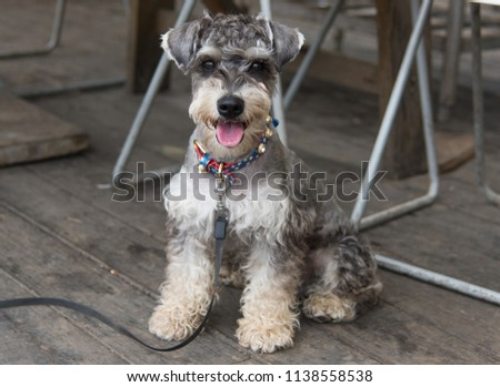 Standard Schnauzer dog is very beautiful. Rare breed puppy with the colorful collar sits on the wooden floor. Mouth opened and tongue out. Thirsty dog`s portrait. #1138558538