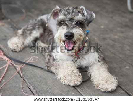 Standard Schnauzer dog with the colorful collar lies on the wooden floor and looking on the camera. Thirsty beautiful puppy with the canine and tongue out. Walking the pet. #1138558547