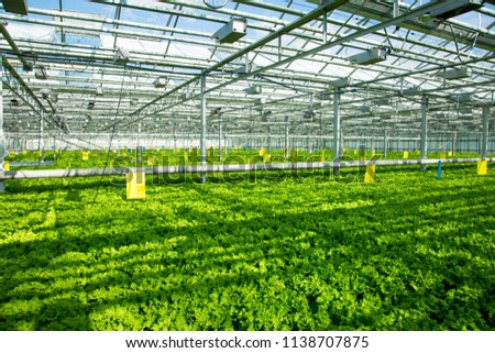 photo of the greenhouse and leaf lettuce growing in it #1138707875