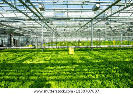 photo of the greenhouse and leaf lettuce growing in it #1138707887