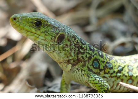 Lacerta lepida - Green Lizard of Iberian Peninsula, wild animal in eucalyptus forest near the city of Padron, Spain, Galicia #1138793036