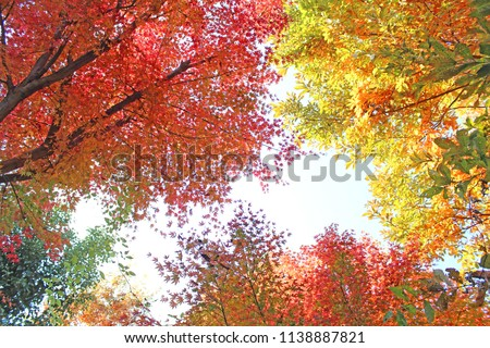 Japanese maple in colorful autumn leaves. #1138887821