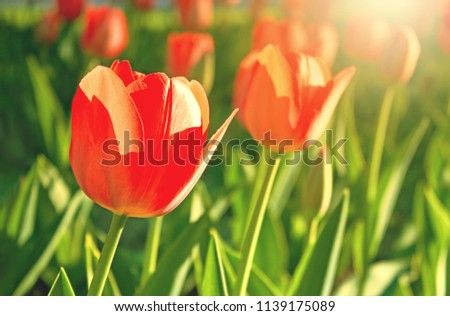 Red tulips flower bloom on red tulips flowers background. #1139175089