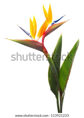 Bird of Paradise Flowers Isolated on a White Background Royalty-Free Stock Photo #113921233