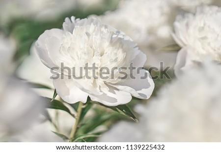 White flower on background white flowers.                    #1139225432