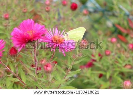lemon butterfly on a aster #1139418821
