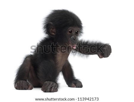 Baby bonobo, Pan paniscus, 4 months old, sitting against white background Royalty-Free Stock Photo #113942173
