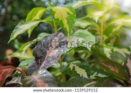 Pseuderanthemum atropurpureum and Caricature plant  #1139529152