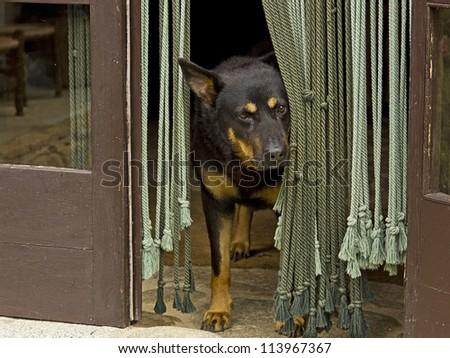 German shepherd dog looking outside, in the door #113967367