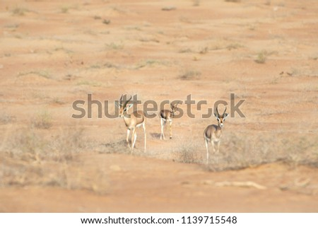Family of three mountaing gazelles: mother, father, baby in desert landscape. Dubai, UAE. #1139715548