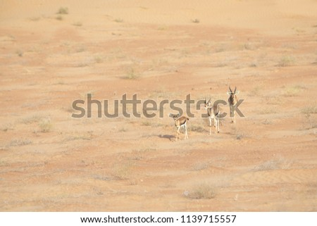 Family of three mountaing gazelles: mother, father, baby in desert landscape. Dubai, UAE. #1139715557