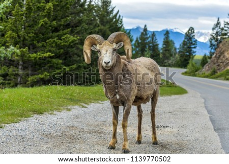 Bighorn Ram - A bighorn sheep ram standing at side of Lake Minnewanka Scenic Drive, Banff National Park, Alberta, Canada. #1139770502