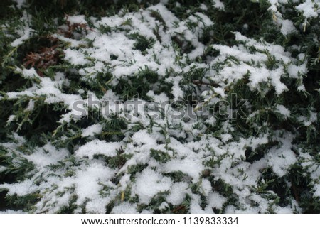 Close view of snow covered foliage of juniper #1139833334