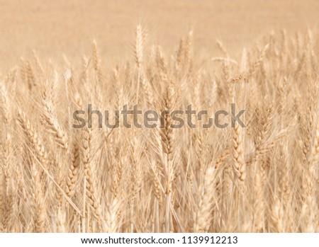 Harvest of bread wheat , Triticum aestivum, Triticum monococcum #1139912213