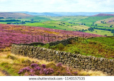Peak District National Park. England, UK. Beautiful blooming purple heather covering land. Stone wall property field border at foreground. #1140157535