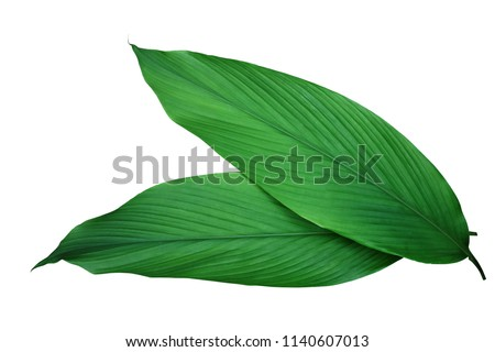 Green leaves of turmeric (Curcuma longa) ginger medicinal herbal plant isolated on white background, clipping path included. #1140607013